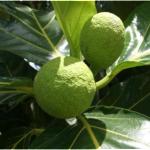 Breadfruit Festival