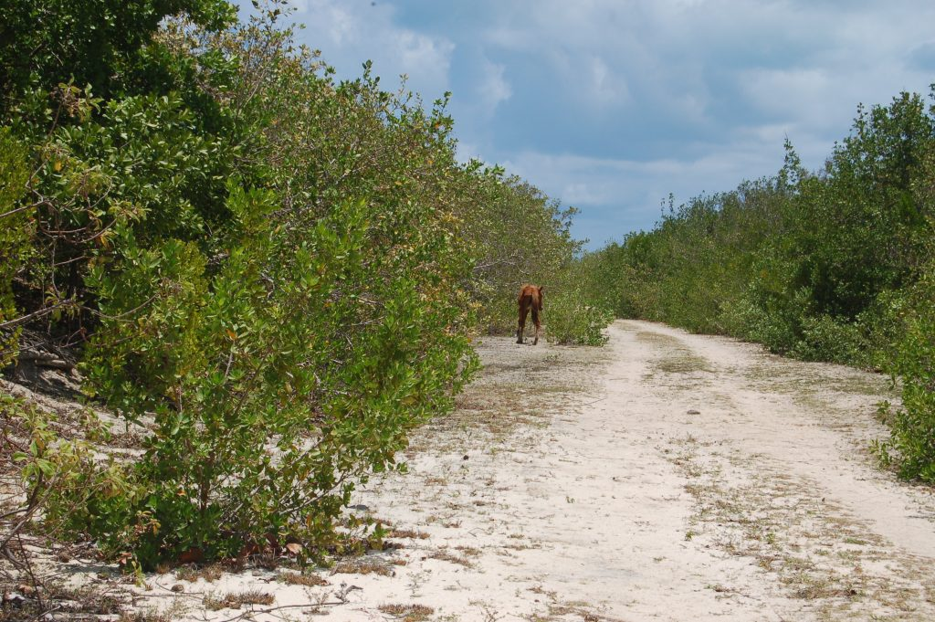 Meeting a wild horse when sailing in Barbuda with Horizon Antigua