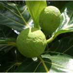 Breadfruit Festival
