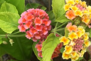 Colourful flowers of Dominica