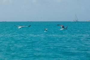 Seagulls in flight over the blue Caribbean sea